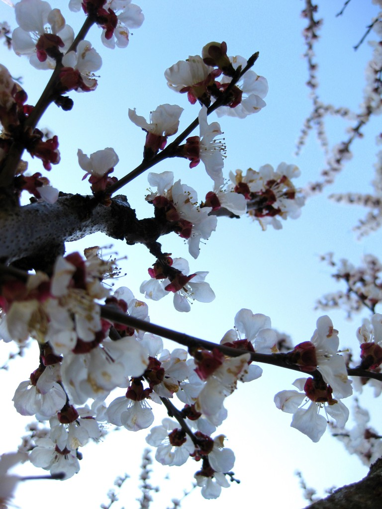 Plum blossoms in the backyard