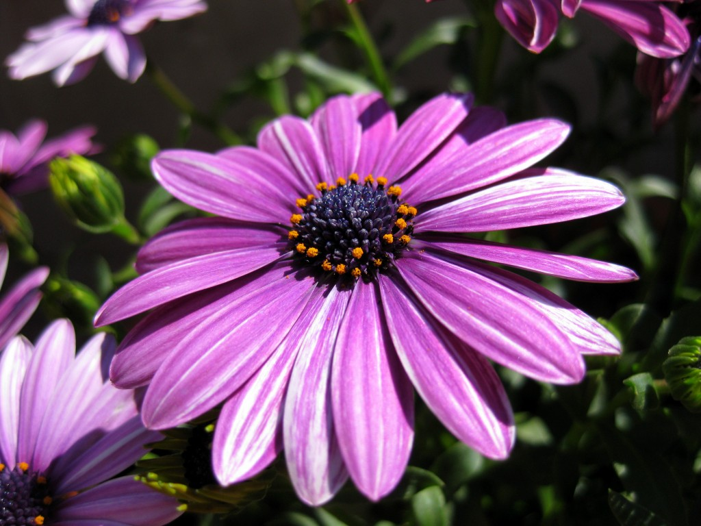 Purple daisy close-up
